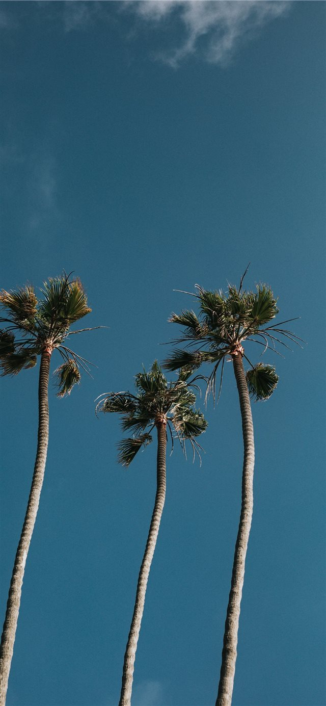 Palm Tree Trio iPhone 11 wallpaper