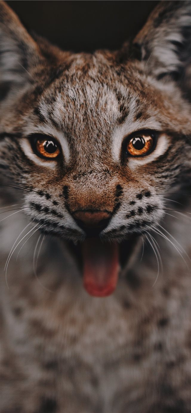 Lynx portrait iPhone 11 wallpaper
