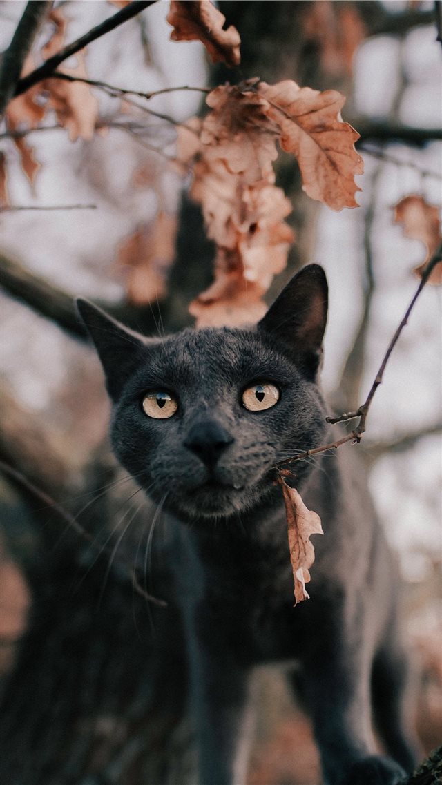 Russian blue cat under tree iPhone 8 wallpaper