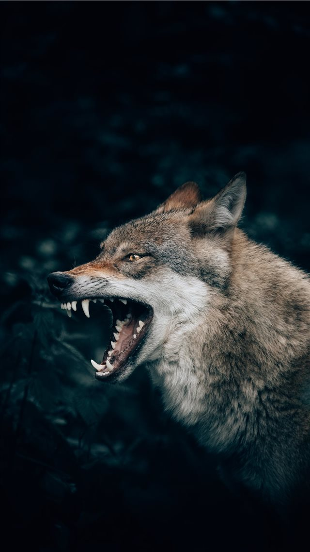 Wolf in the Forest iPhone 8 wallpaper