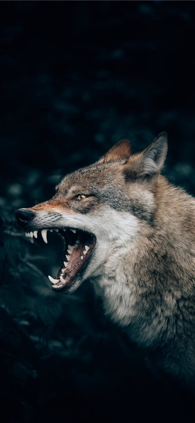Wolf in the Forest iPhone X wallpaper