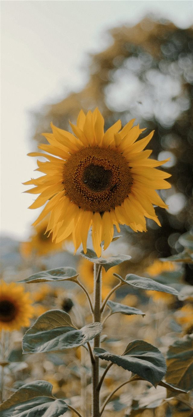 a sunflower ;) iPhone X wallpaper