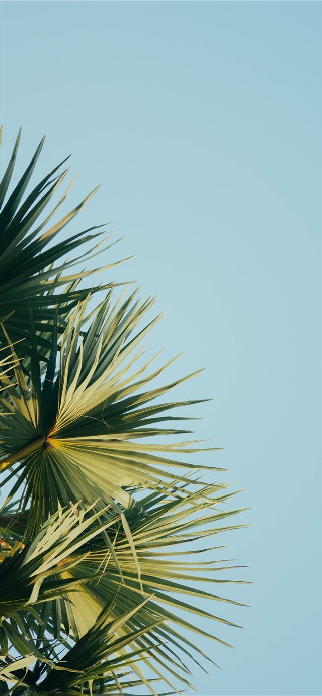 fan palm tree under blue sky iPhone 11 wallpaper
