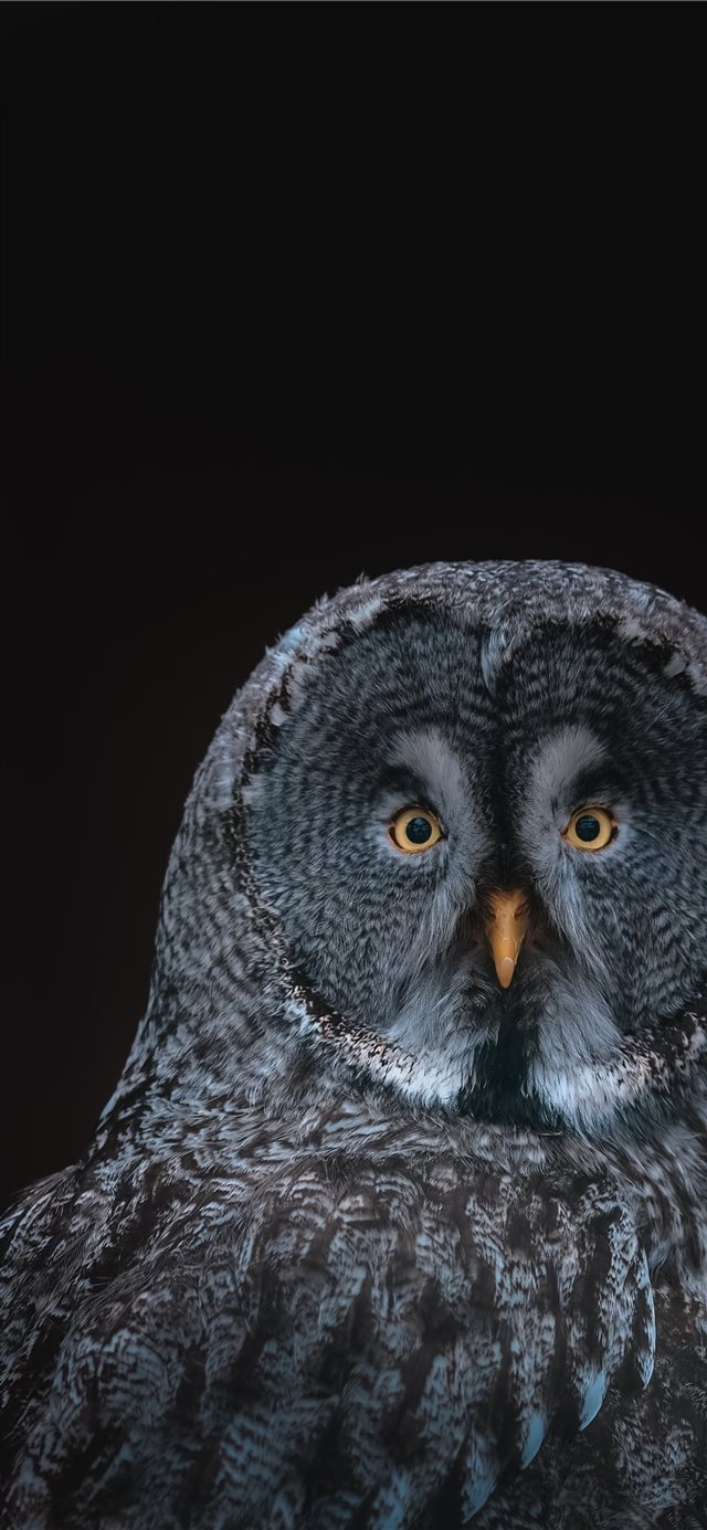 gray owl on black background iPhone 11 wallpaper