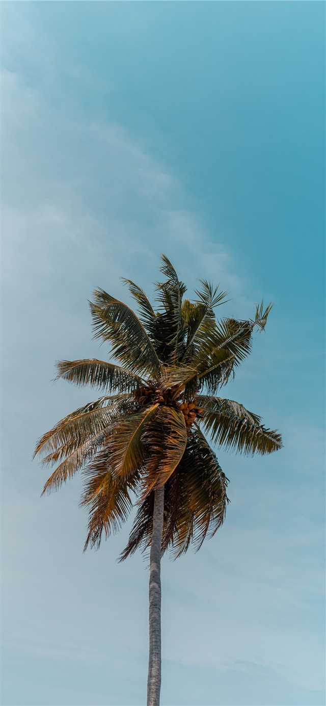 green coconut tree under blue sky iPhone X wallpaper