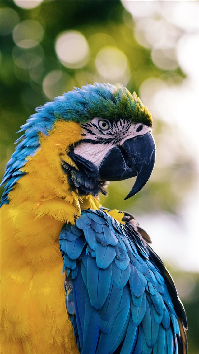close up of a yellow and blue macaw iPhone 8 wallpaper