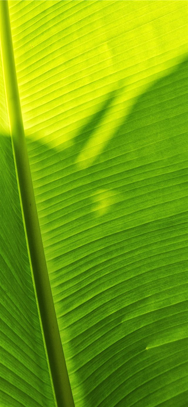 green banana leaf iPhone 11 wallpaper