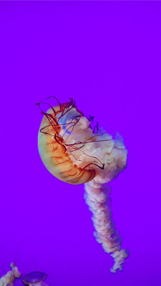 jelly fish iPhone SE wallpaper