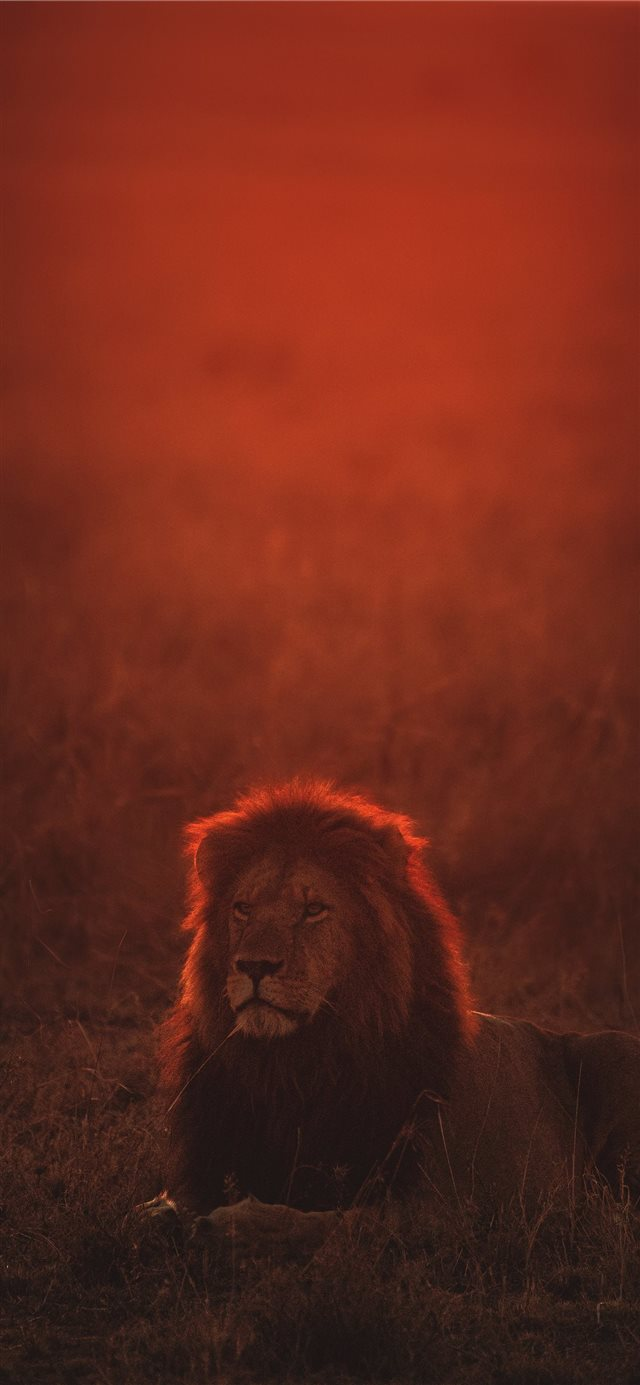 lion on green grass during golden hour iPhone X wallpaper