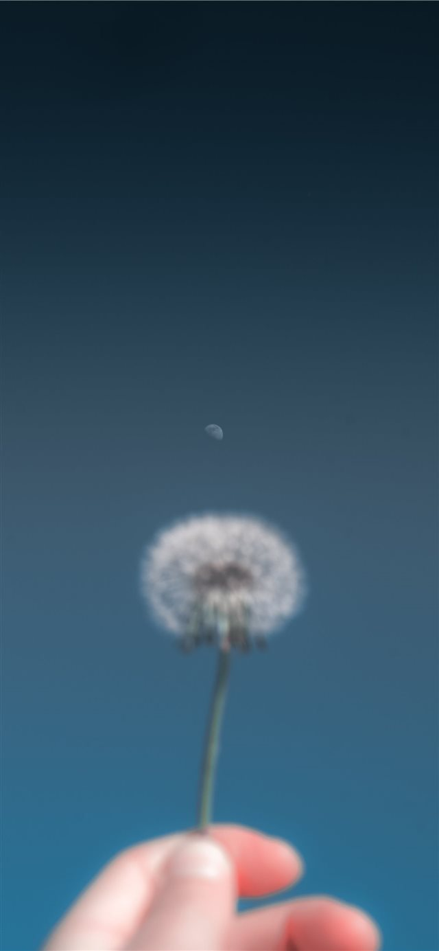 person holding dandelion flower iPhone 11 wallpaper