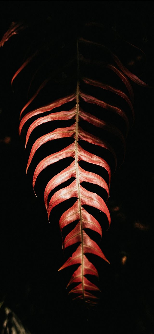 red leaf on black background iPhone 11 wallpaper