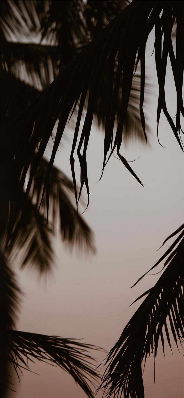 silhouette of coconut trees iPhone 11 wallpaper