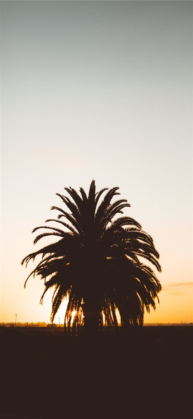 silhouette photo of palm tree during golden hour iPhone X wallpaper