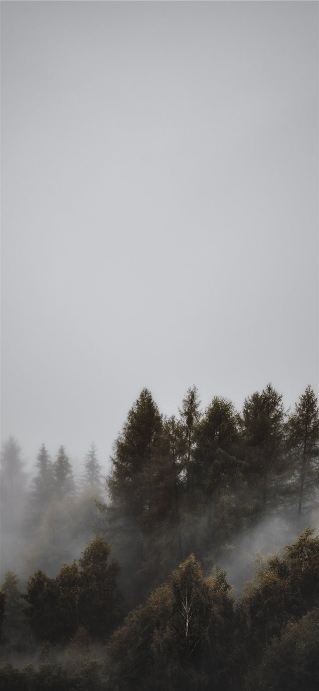 fogs and pine trees iPhone 11 wallpaper