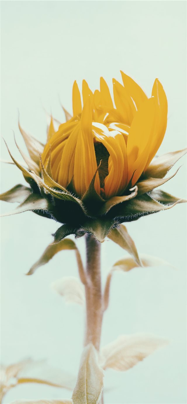 shallow focus photography of yellow sunflower iPhone 11 wallpaper
