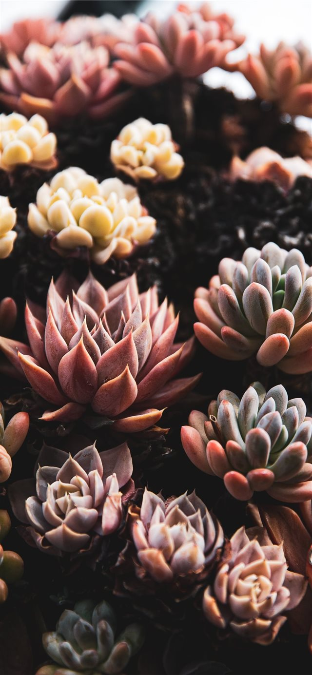 close view of succulents iPhone X wallpaper