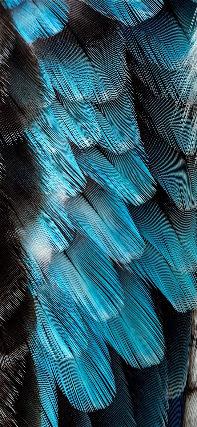 black and blue feather iPhone 11 wallpaper