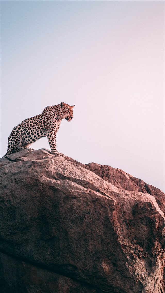 brown leopard on top of grey rock iPhone SE wallpaper