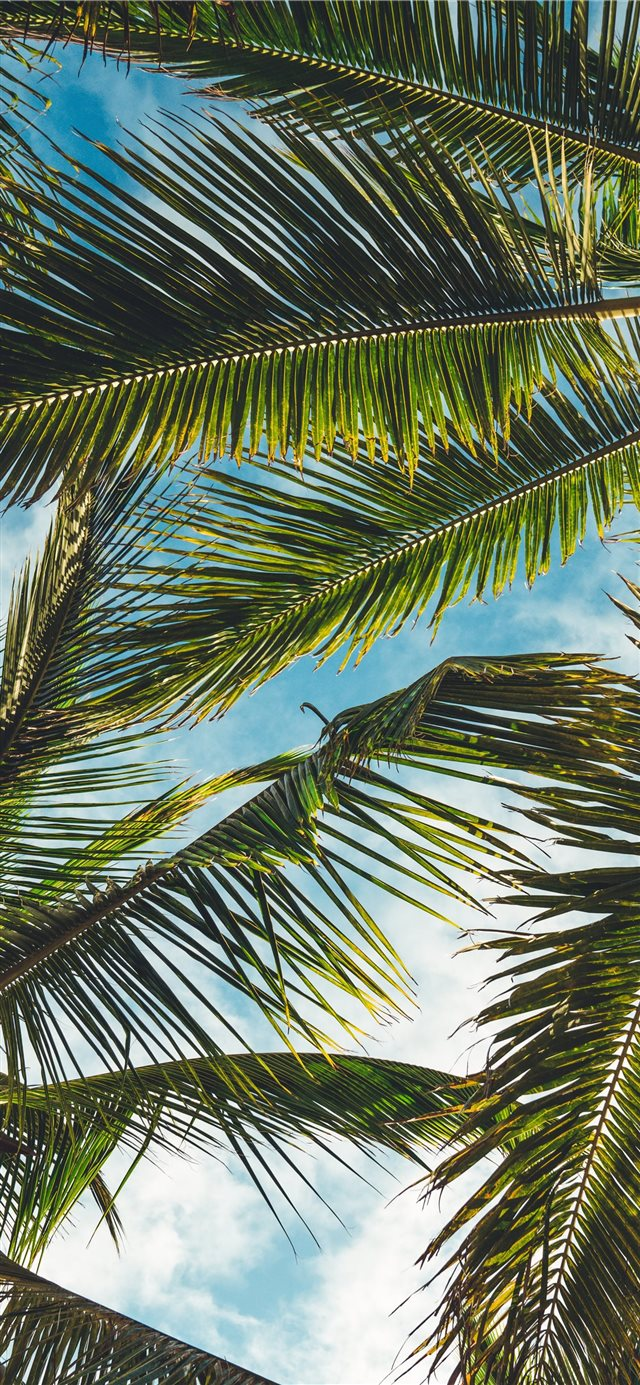 coconut tree leaves under blue sky during daytime iPhone X wallpaper