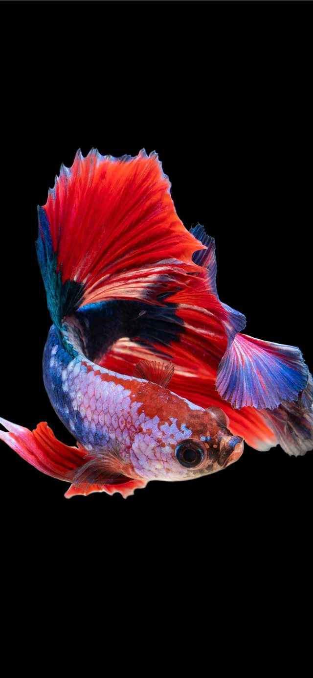 red and silver guppy fish iPhone 11 wallpaper