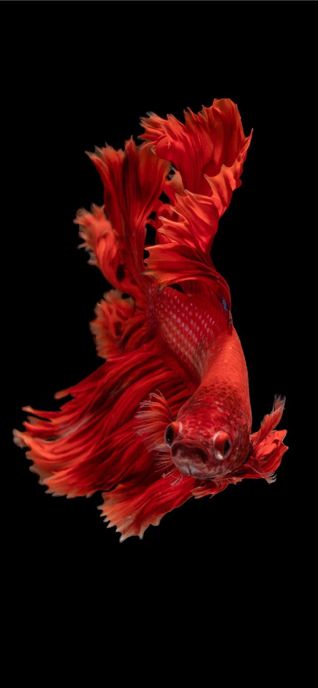 red Siamese fighting fish iPhone 11 wallpaper