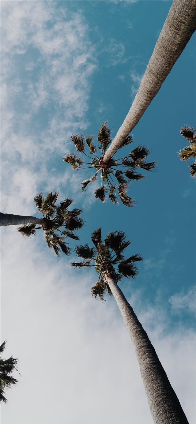 worms eyeview photography of coconut trees iPhone X wallpaper