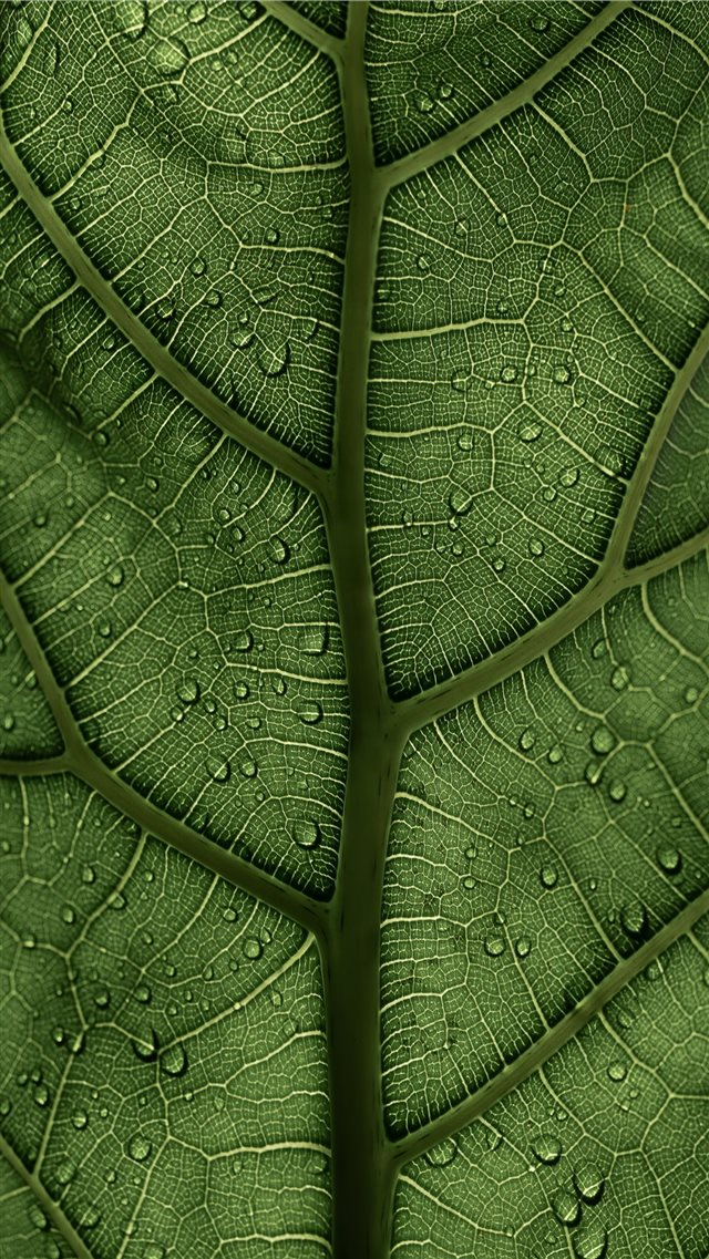A Ficus Lyrata Leaf in the sunlight 2 2 IG clay ba... iPhone SE wallpaper