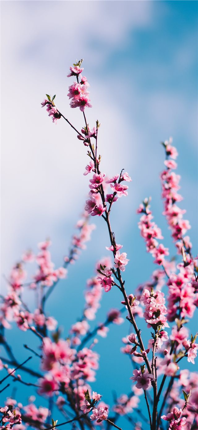 close up photograph of pink cherry blossoms iPhone X wallpaper