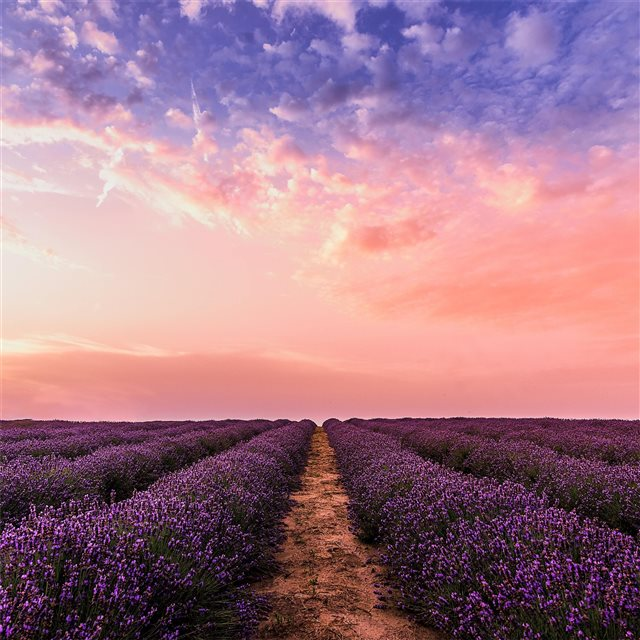 lavender field under pink sky 5k iPad Pro wallpaper