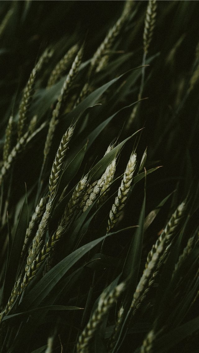 selective focus photo of green wheats iPhone SE wallpaper