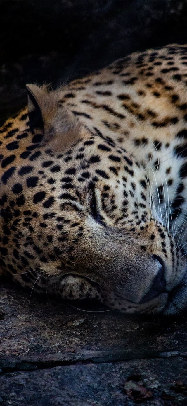 brown and black leopard lying on ground iPhone X wallpaper