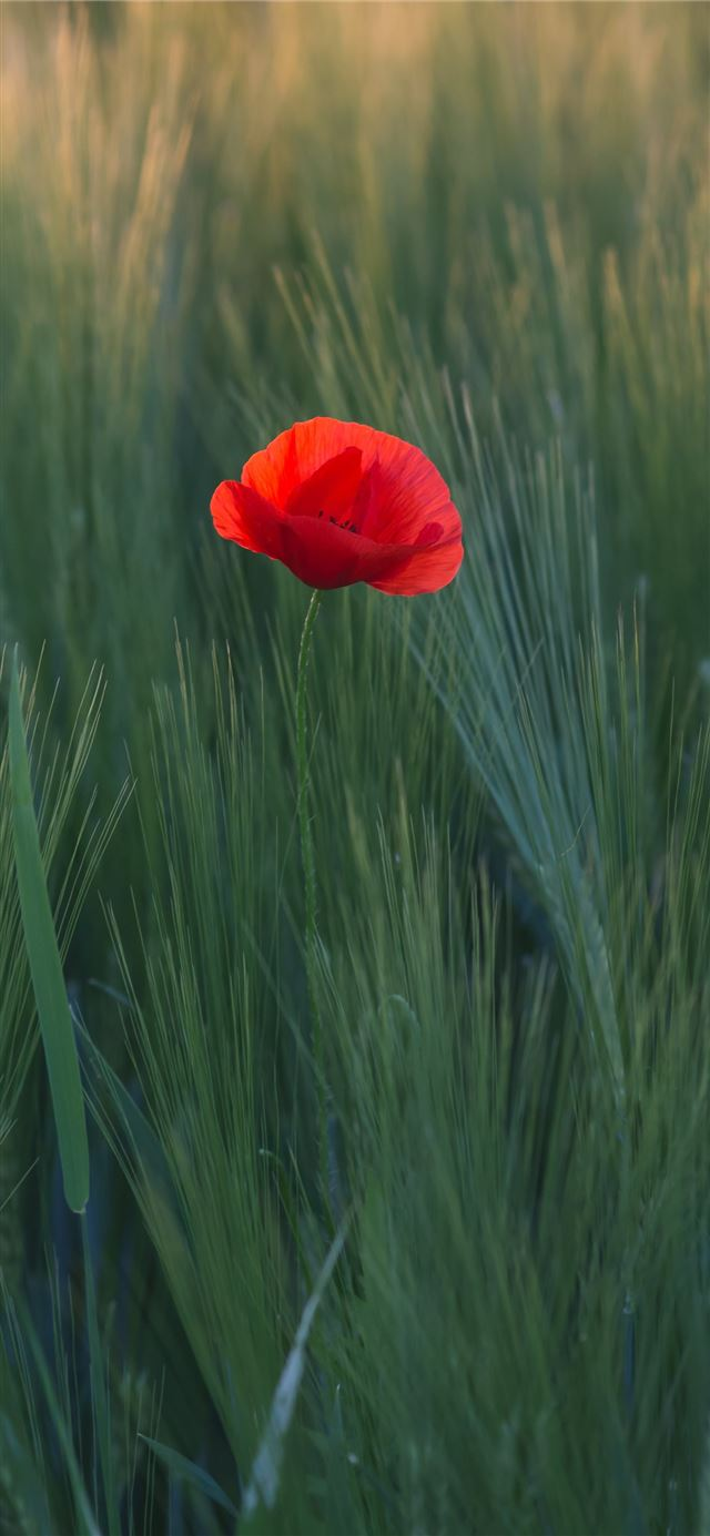 red flower in the middle of green grasses iPhone 11 wallpaper