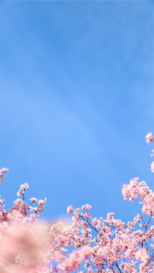 white cherry blossom under blue sky during daytime iPhone 8 wallpaper