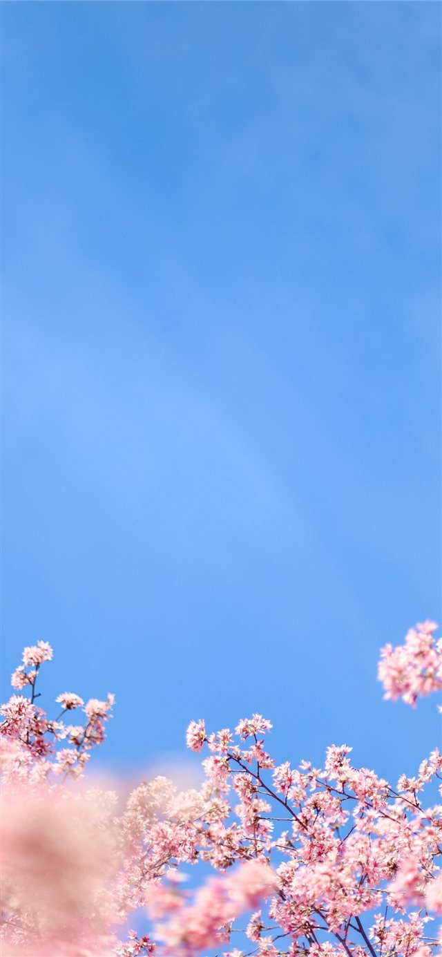 white cherry blossom under blue sky during daytime iPhone X wallpaper